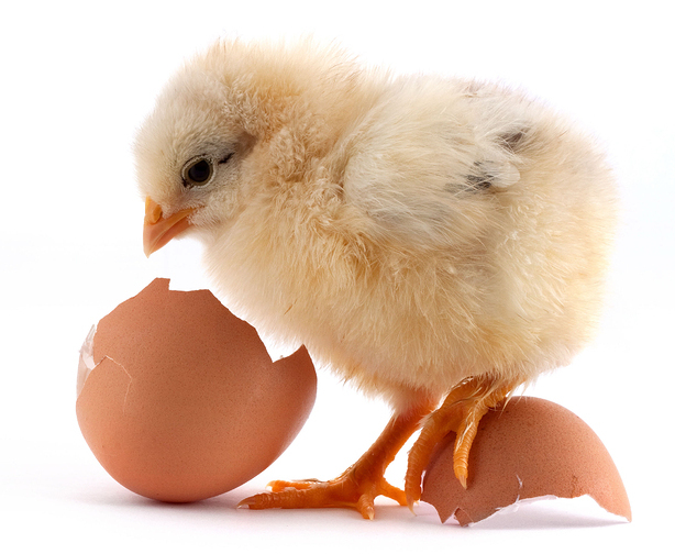 The set of yellow small chicks with egg isolated on a white background
