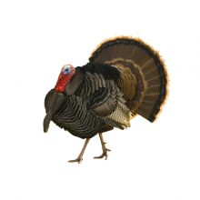 Bronze Turkey