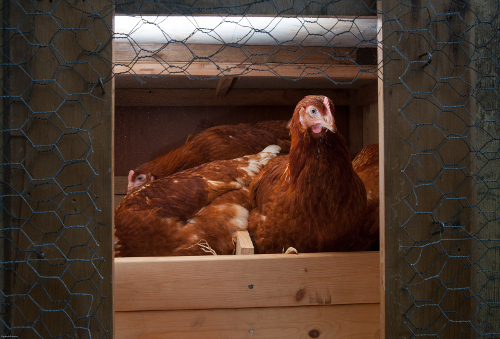 Hens settling in to the chicken coop for the night