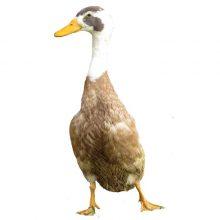 Indian Runner Ducks Townline Poultry Farm
