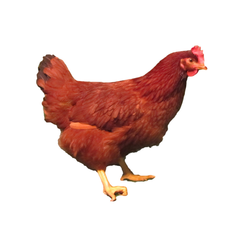 Mature rhode island red hen