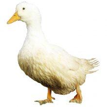 White Pekin Ducks Townline Poultry Farm