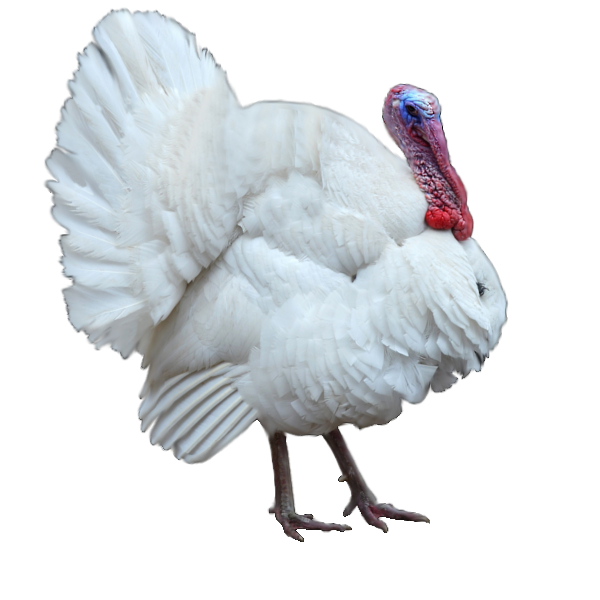 White-Turkey1.jpg