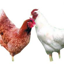 Red Cross Hen and Rooster