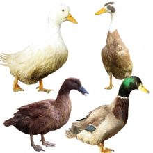 Mixed Ducks